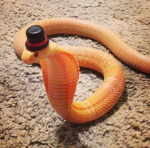 dapper_snake